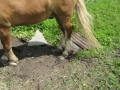 2016_06_20 Kandel Pferde Freckenfeld 06