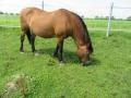 2016_06_20 Kandel Pferde Freckenfeld 29