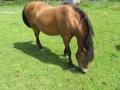 2016_06_20 Kandel Pferde Freckenfeld 30
