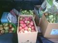 2018_09_12 Ettenheim Äpfelsammelaktion 02