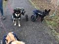 2019_01_28 Alsfeld Rolli-Hunde 4
