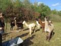 2019_09_17-Lamas-Alpakas-besuchen-07
