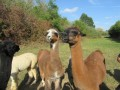 2019_09_17-Lamas-Alpakas-besuchen-11