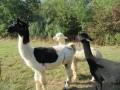 2019_09_17-Lamas-Alpakas-besuchen-12