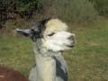 2019_09_17-Lamas-Alpakas-besuchen-13