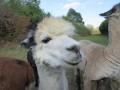 2019_09_17-Lamas-Alpakas-besuchen-14