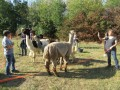 2019_09_17-Lamas-Alpakas-besuchen-18
