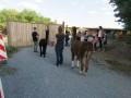 2019_09_17-Lamas-Alpakas-besuchen-24