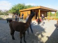 2019_09_17-Lamas-Alpakas-besuchen-30