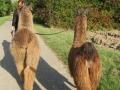 2019_09_17-Lamas-Alpakas-besuchen-37