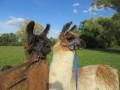 2019_09_17-Lamas-Alpakas-besuchen-40